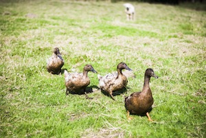 4 ducks in a field watched by a lamb